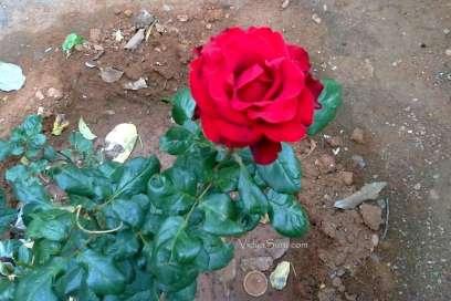 world Gratitude day vidya sury