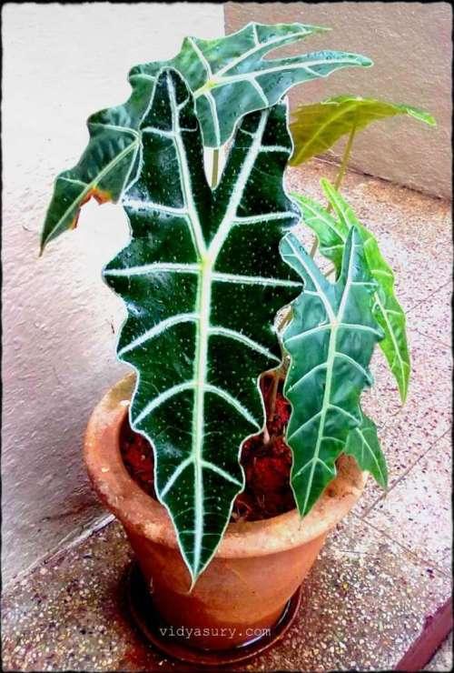 vidya sury change leaf