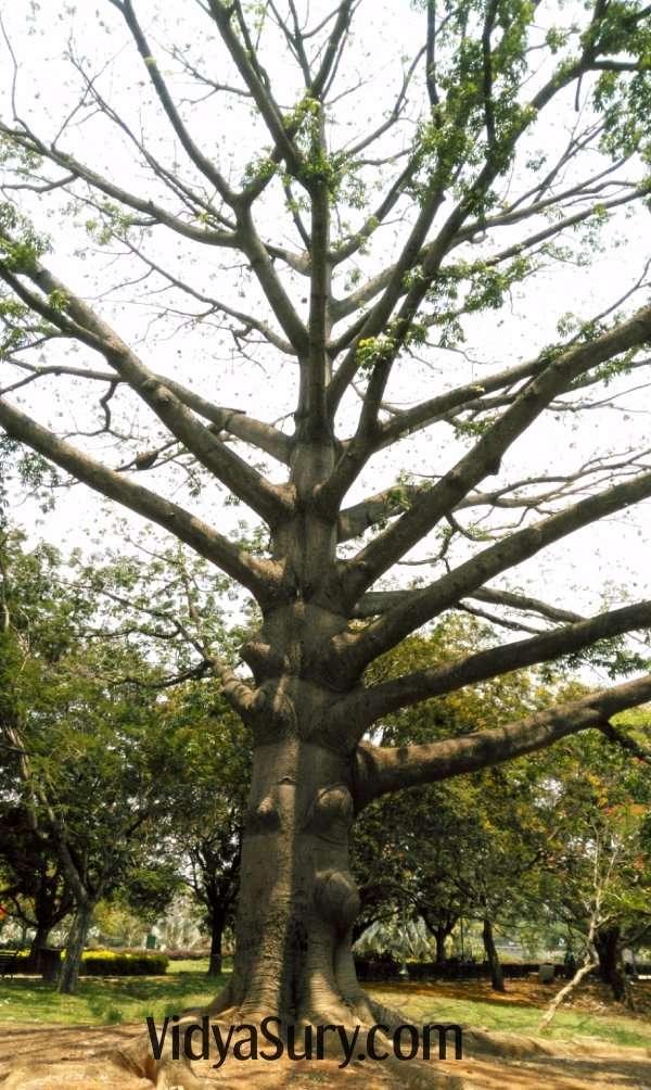White silk cotton tree at Lalbagh Botanical Gardens, Bangalore #travel #nature #trees