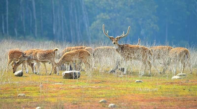 Deer Jim Corbett National Park