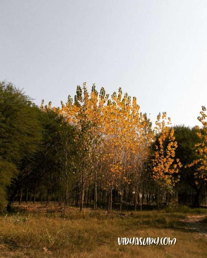 Poplar Trees Fire