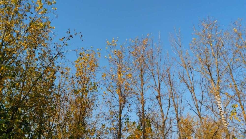 Poplar trees against the blue skies