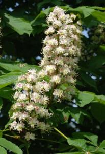 Fleurs de marronnier d'inde