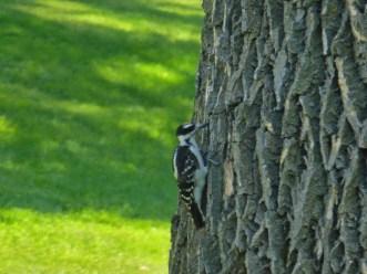 Woody Woodpecker!