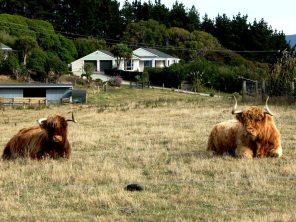Vaches-île du Sud