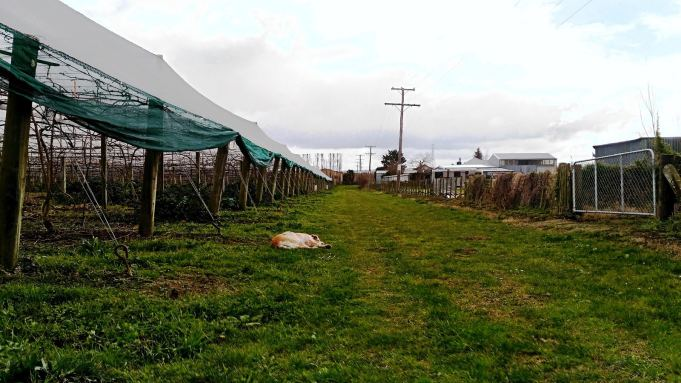 plantation de kiwis-travailler l'hiver en Nouvelle Zélande