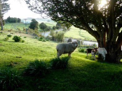 mouton-île du Nord