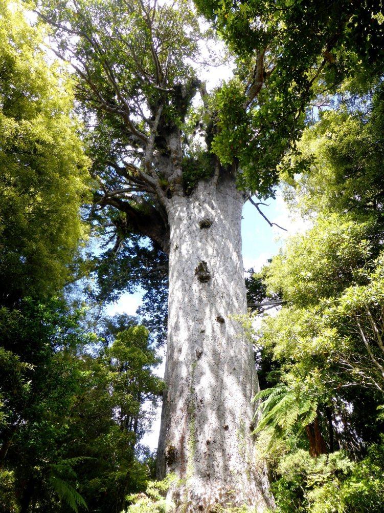 Kauri tree-île du Nord