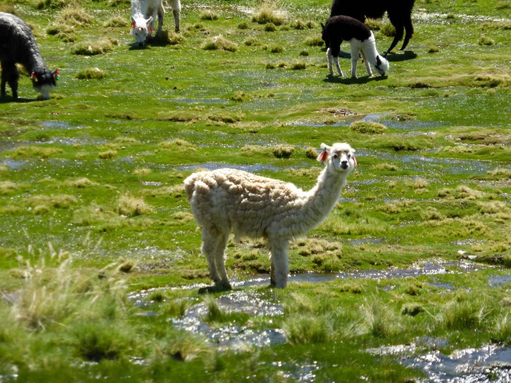 Parc National de Sajama-Bolivie (12)