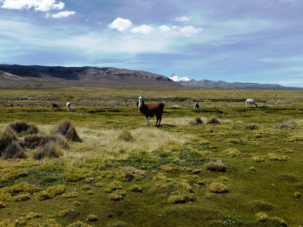 Parc National de Sajama-Bolivie (19)
