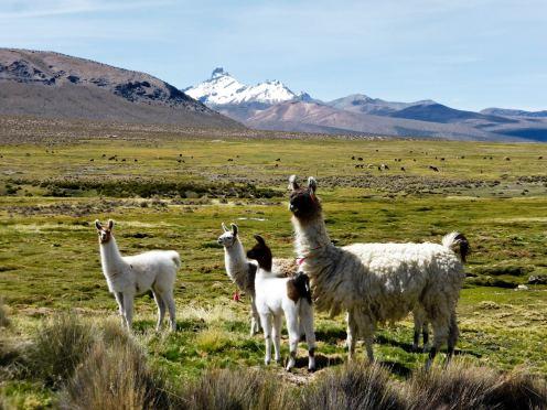 Parc National de Sajama-Bolivie (21)