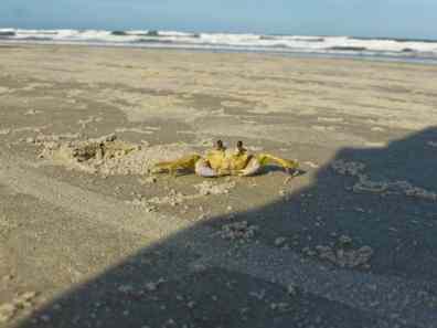 crabe llha do mel-Brésil