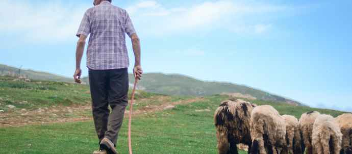 back view photo of shepherd walking his flock of sheep in grass field