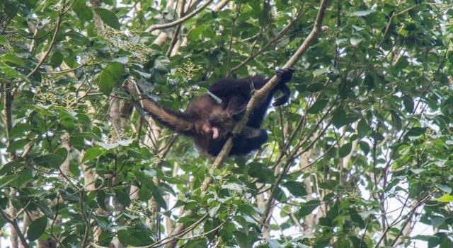 Brüllaffe in Tikal Guatemala