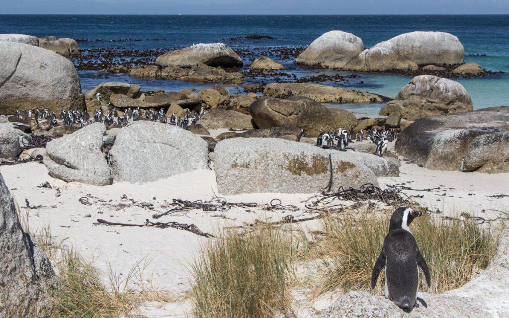 Boulders Beach Kaapstadpinguïns