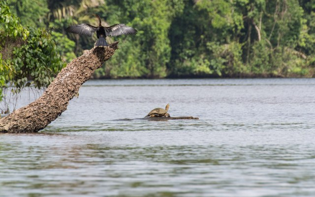 Tortuguero Nationalpark Black Water Turtle American Anhinga