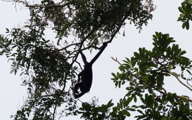 Tortuguero Nationalpark Spider monkey