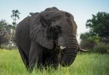 botswana-reisebericht-elefant