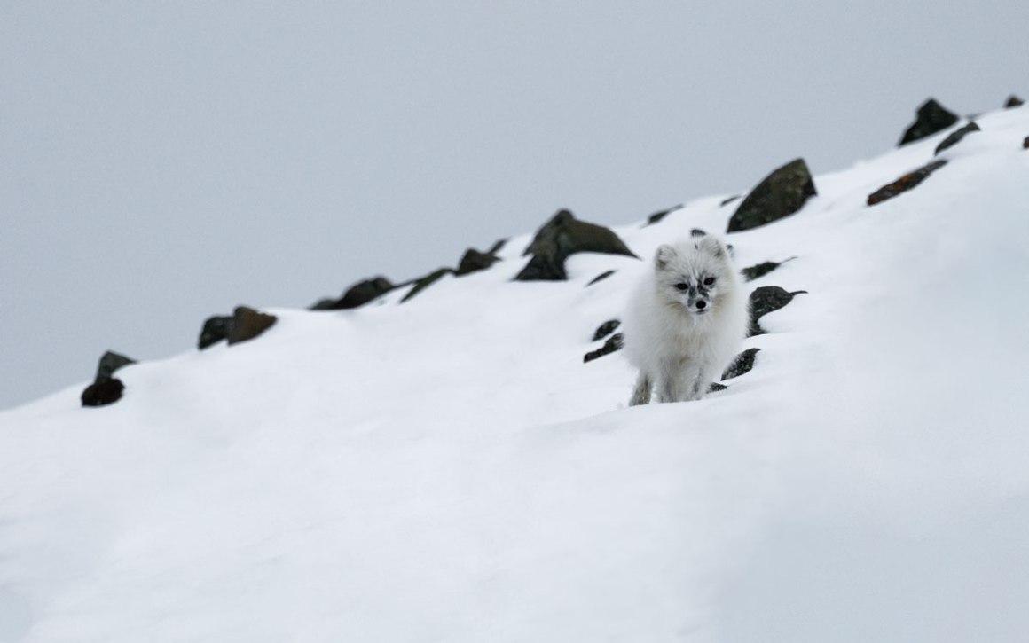 Poolvos Svalbard