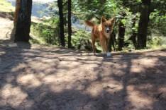 Hund in Santo Antao