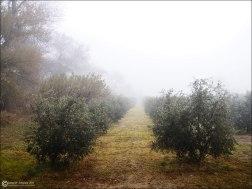 Olivos alineados