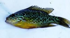 Regina bălţilor - pește de baltă