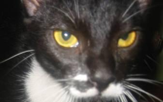 pisica neagra cu ochi galbeni