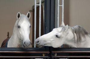 csm_stallions_c_Spanish_Riding_School_ASAblanca.com_Rene_van_Bakel_-_Kopie_c444ac787f