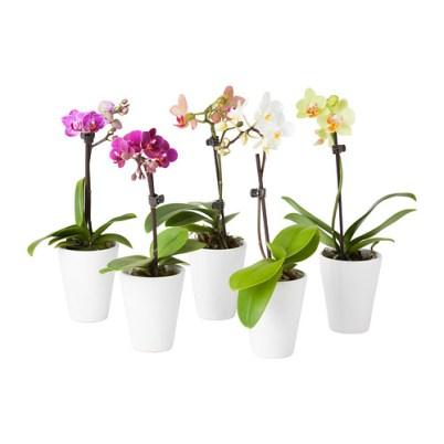 Orchidee von Ikea