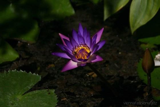 Seerose lila