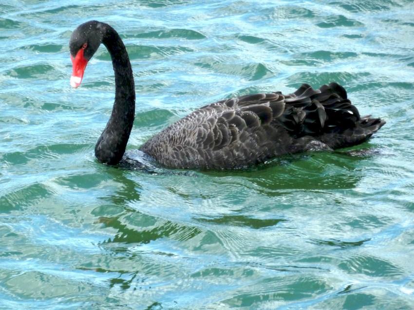 Cygne noir en Nouvelle-Zélande