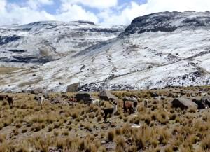paysage andin enneigé avec alpagas