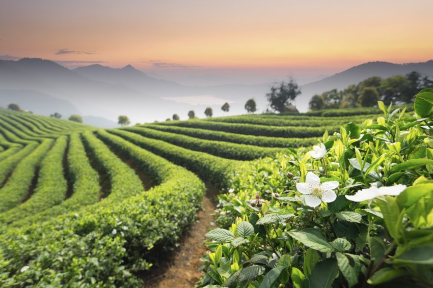 chinese tea plantation