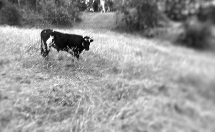 Monólogo de un toro