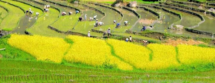 Planten van rijst – Rijstterrassen Sapa