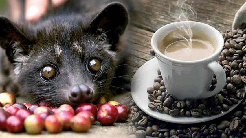 Копи Лувак - самый дорогой в мире кофе
