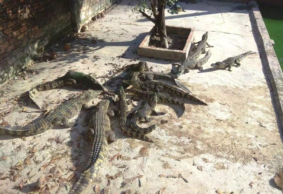 Крокодильчики кушают