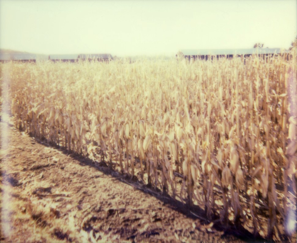 painterly cornfield by nikki gardner
