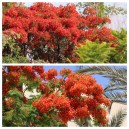 Royal Poinciana   (Flame Tree)