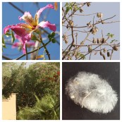 Silk Floss Tree flower, seed pod, seed