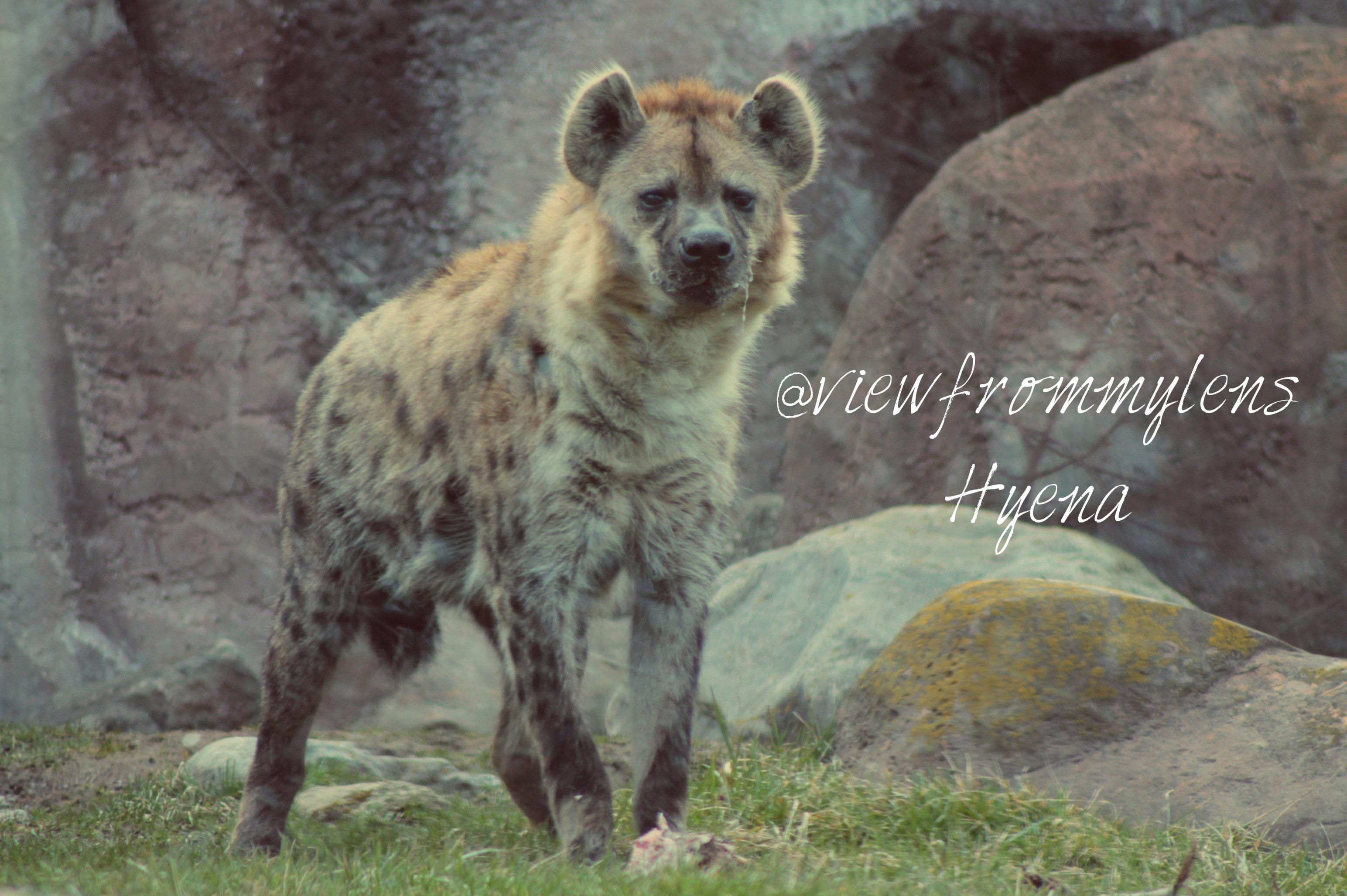 Hyena #124