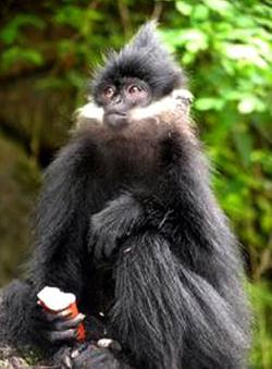 Francois' Left Monkey