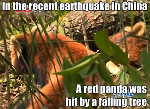 A red panda was hit by a falling tree