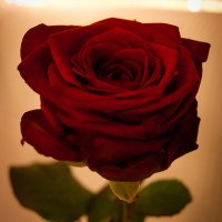 The secret, tamed rose (as the one)