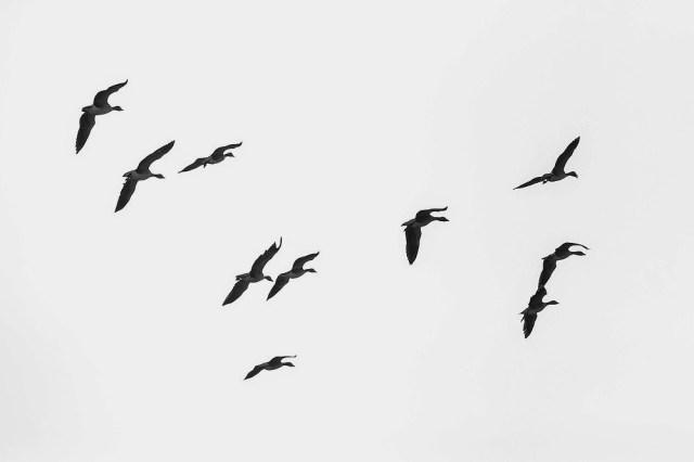 Greylag Geese in flight - Manor Farm, Milton Keynes