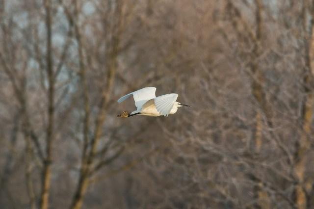 Little Egret in flight, catching the suns golden glow, Milton Keynes