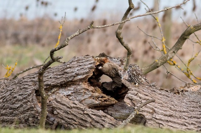 Little Owl sat on dead tree trunk - Manor Farm, Milton Keynes