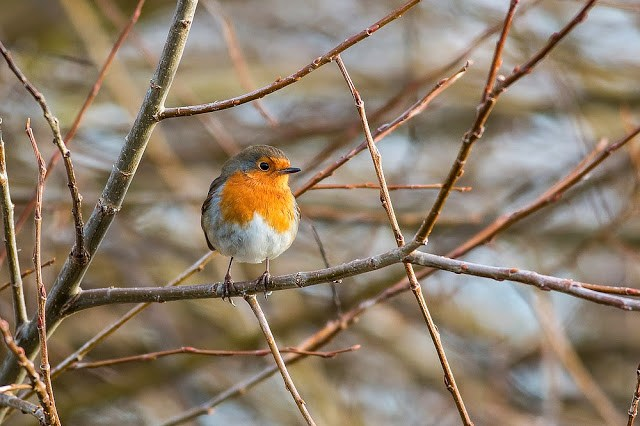 European Robin - Manor Farm, Milton Keynes