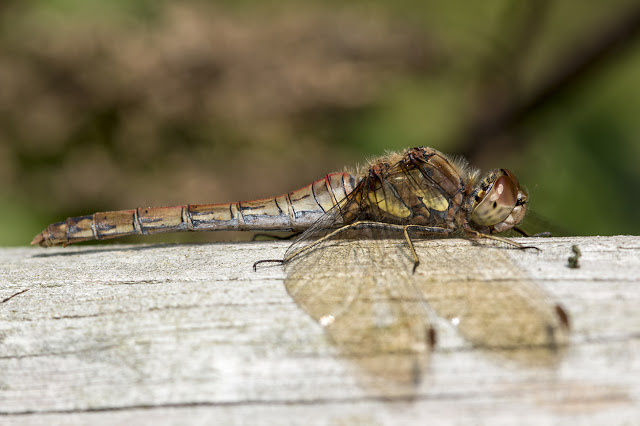Common Darter resting on a post