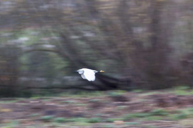 Little Egret moving at speed